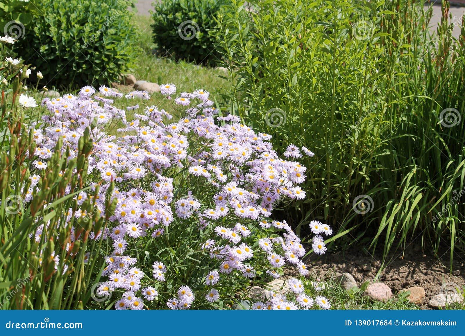 flowers of symphyotrichum novae-angliae syn. aster novae-angliae or