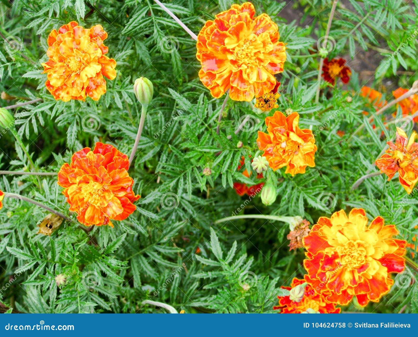 Flowers Of Tagetes National Symbol Of Ukraine Stock Photo Image