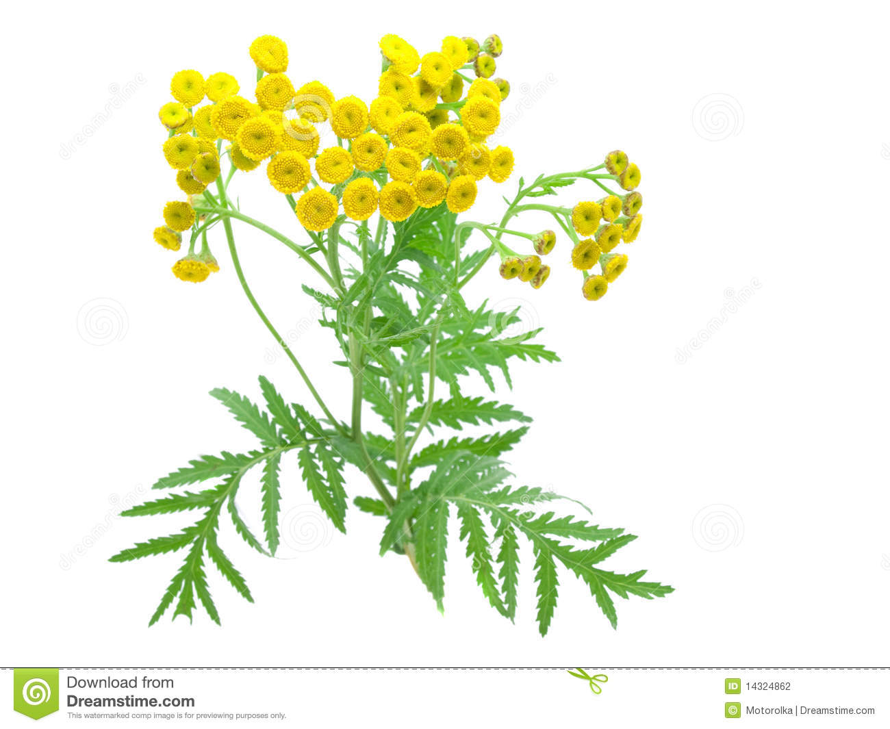 Flowers of tansy.