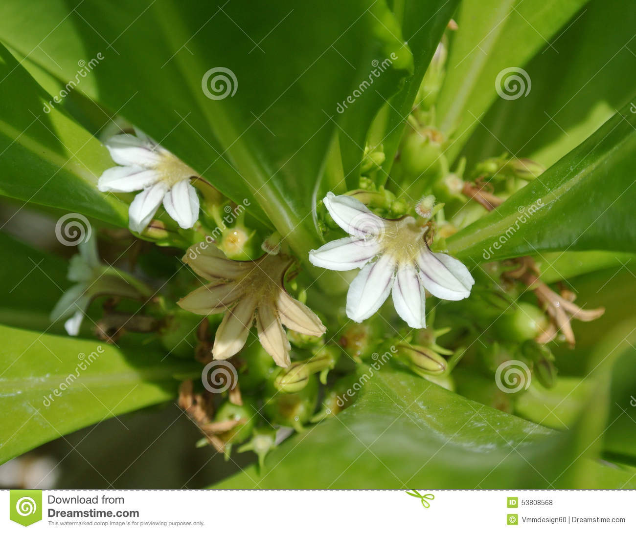 Flowers Tiny White Cluster Exotic Tropical Stock Photo Image Of