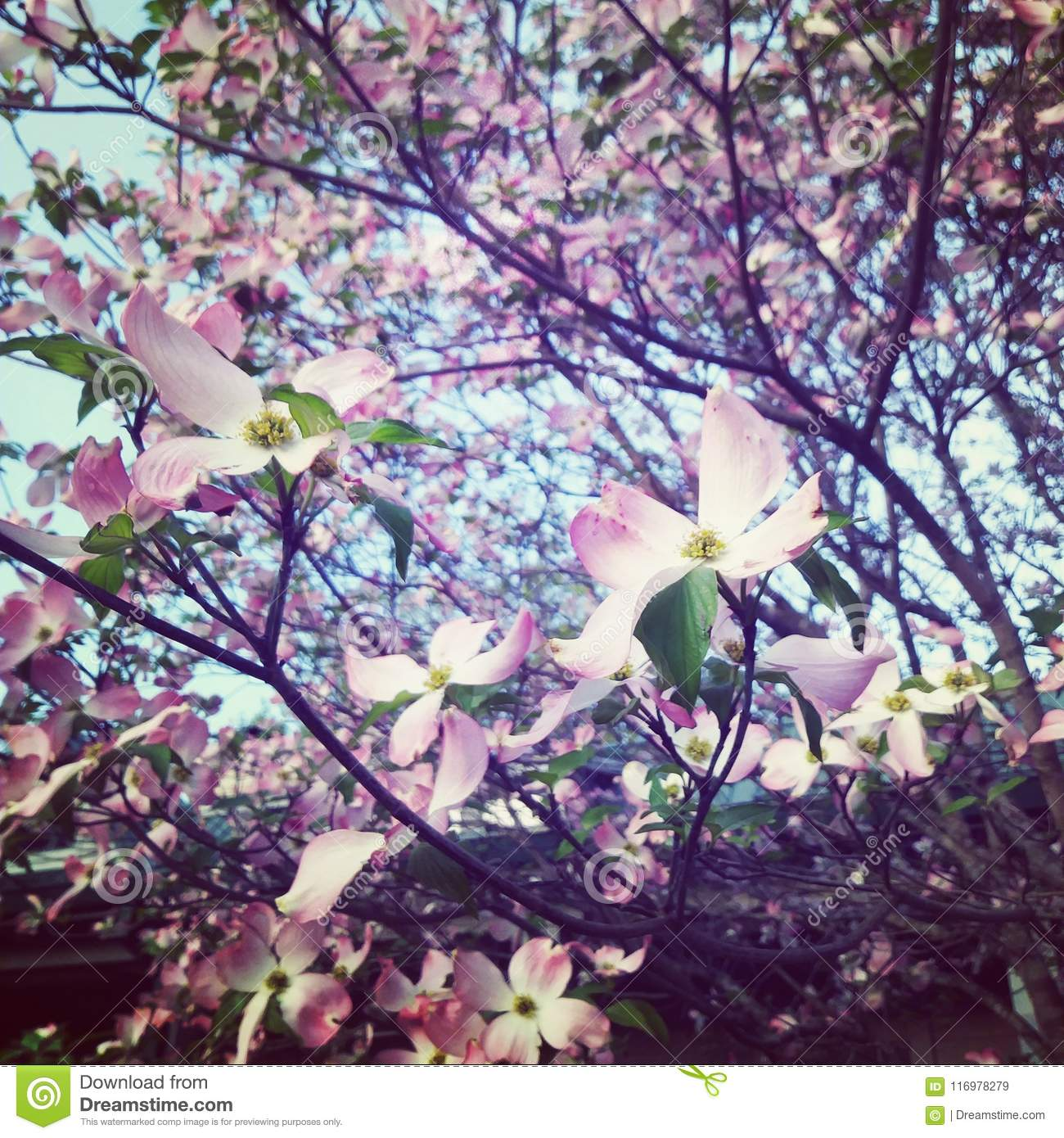 Albero Con Fiori Bianchi dogwood blooming trees in the spring pink and white flowers