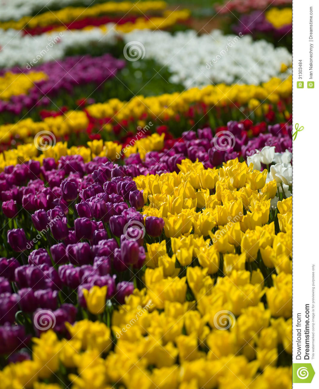 Flowers tulips stock images image 31303484 for What makes flowers different colors
