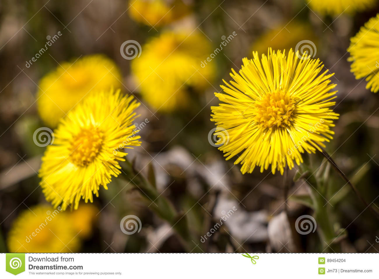 Flowers Of Tussilago Farfara Commonly Known As Coltsfoot Stock Photo