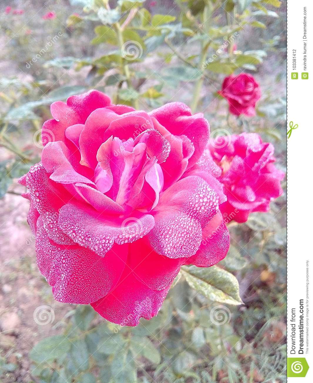Rose Flowers Very Good Beautiful Nice Romantic Love Lovely Colors
