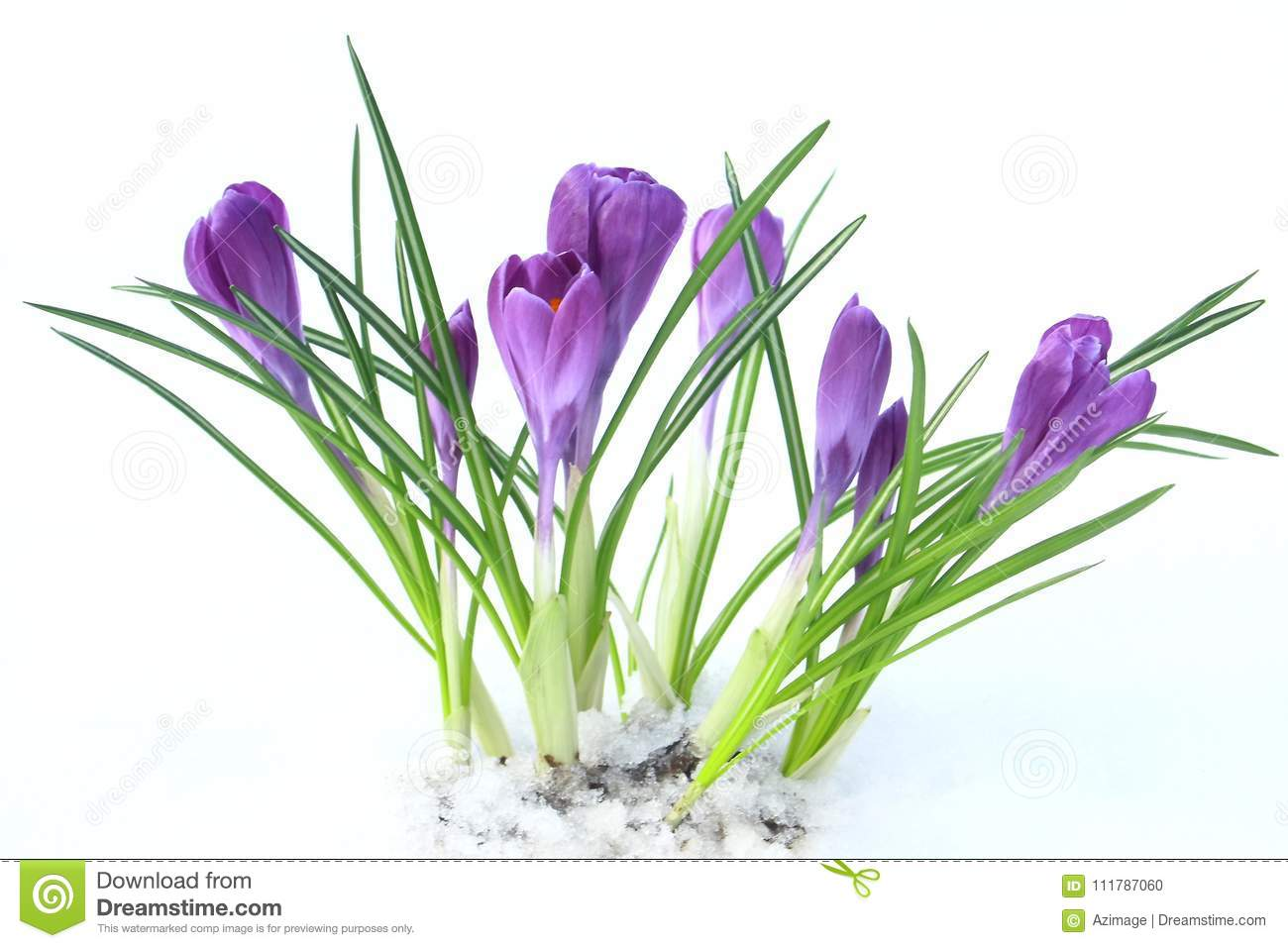 Flowers Violet Crocus In The Snow Spring Stock Photo Image Of
