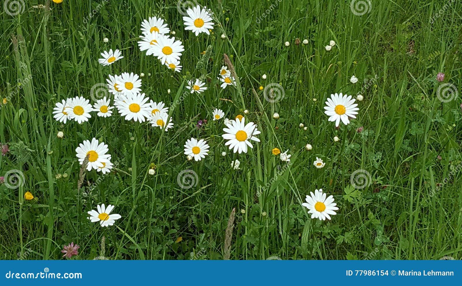Flowers Weed Meadow Daisy Stock Photo Image Of Botanischer 77986154