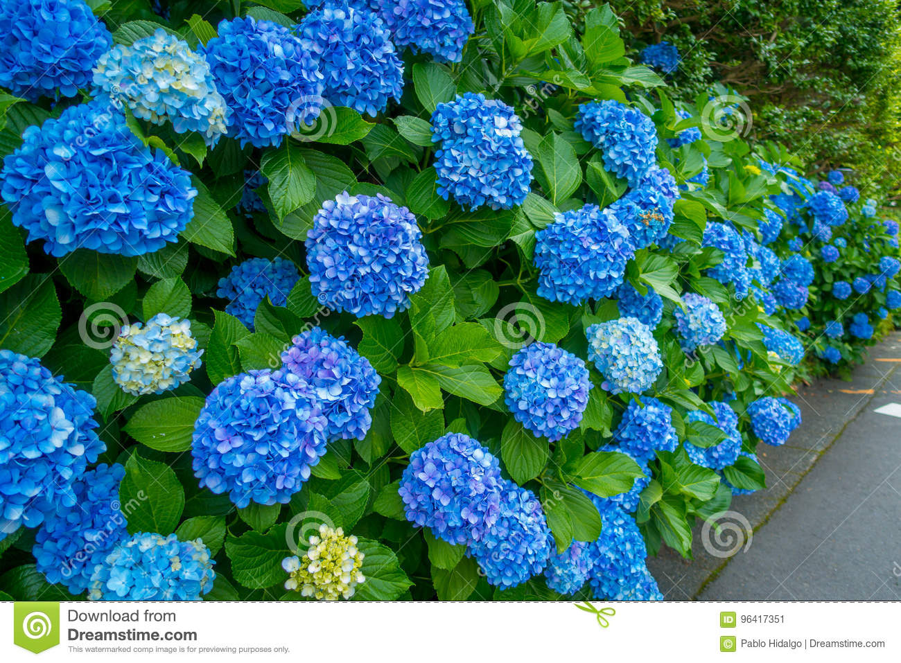 Flowers In White And Blue Hortencias Blossom At Hakone Town In