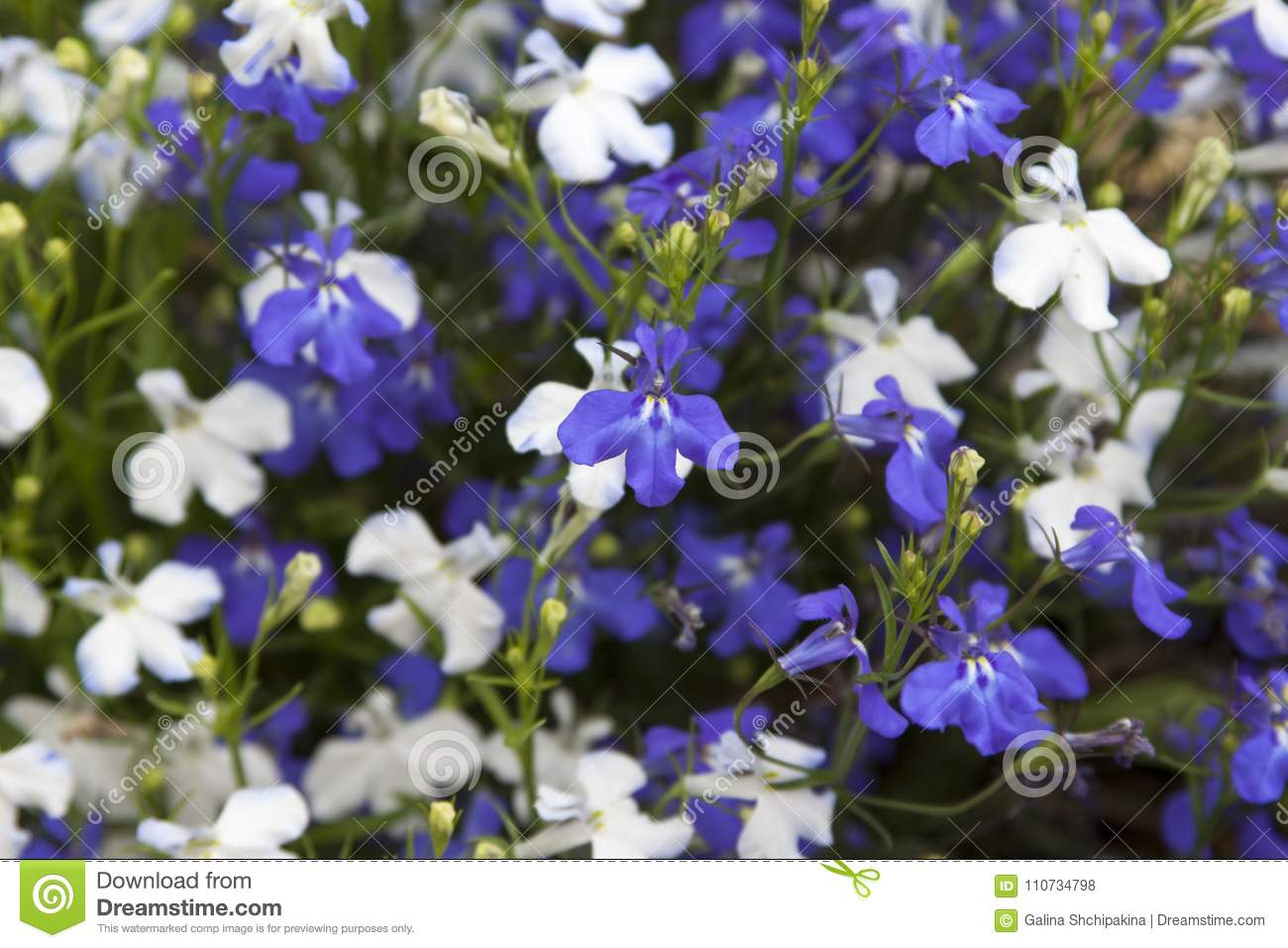 Flowers White And Blue Lobelia In Full Frame Stock Photo Image Of