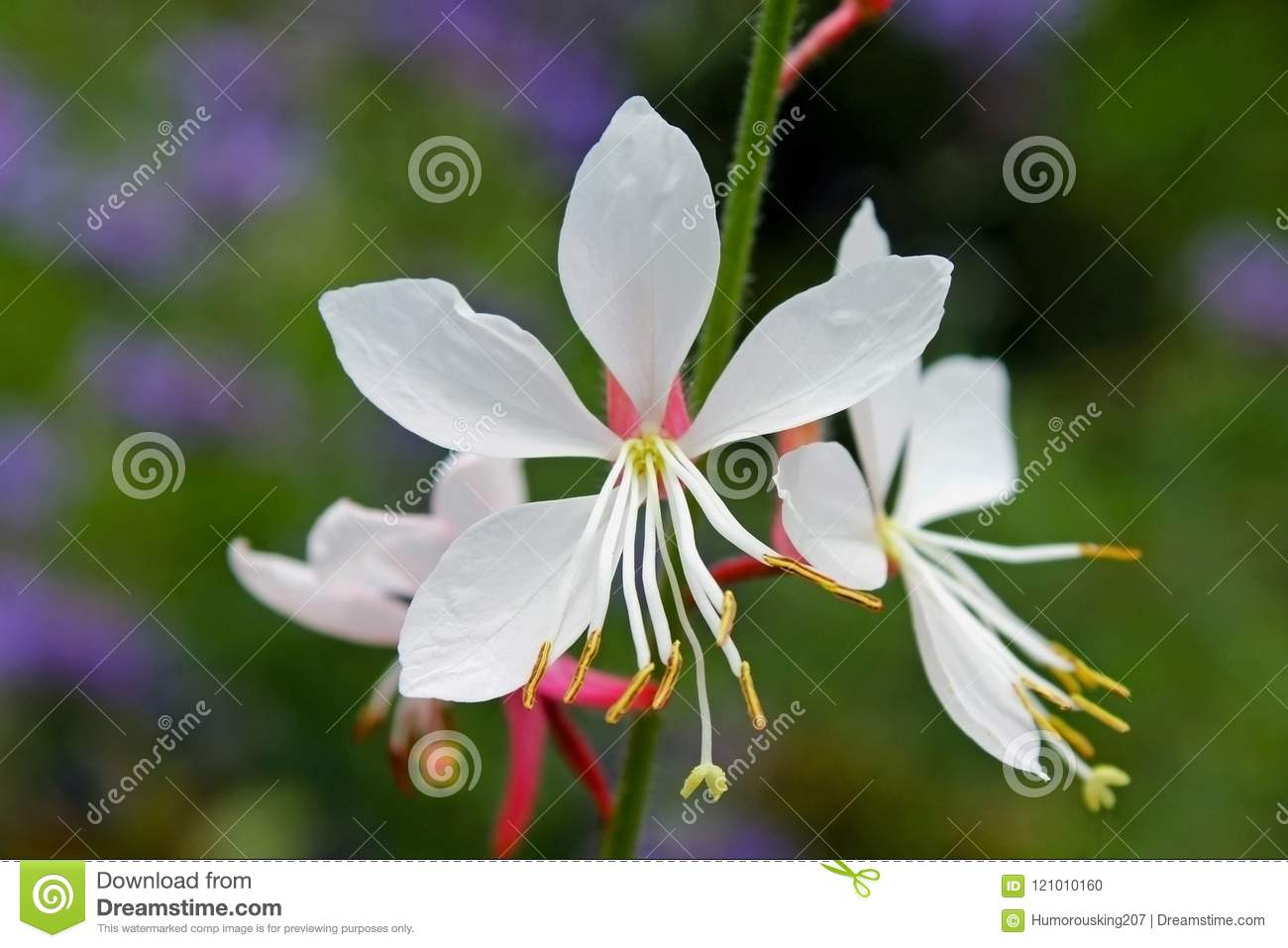 Flowers Of White Gaura Whirling Butterflies Stock Photo Image Of