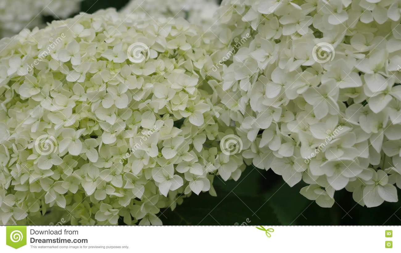 Flowers Of White Hydrangea Closeup The Movement Of The Camera Along
