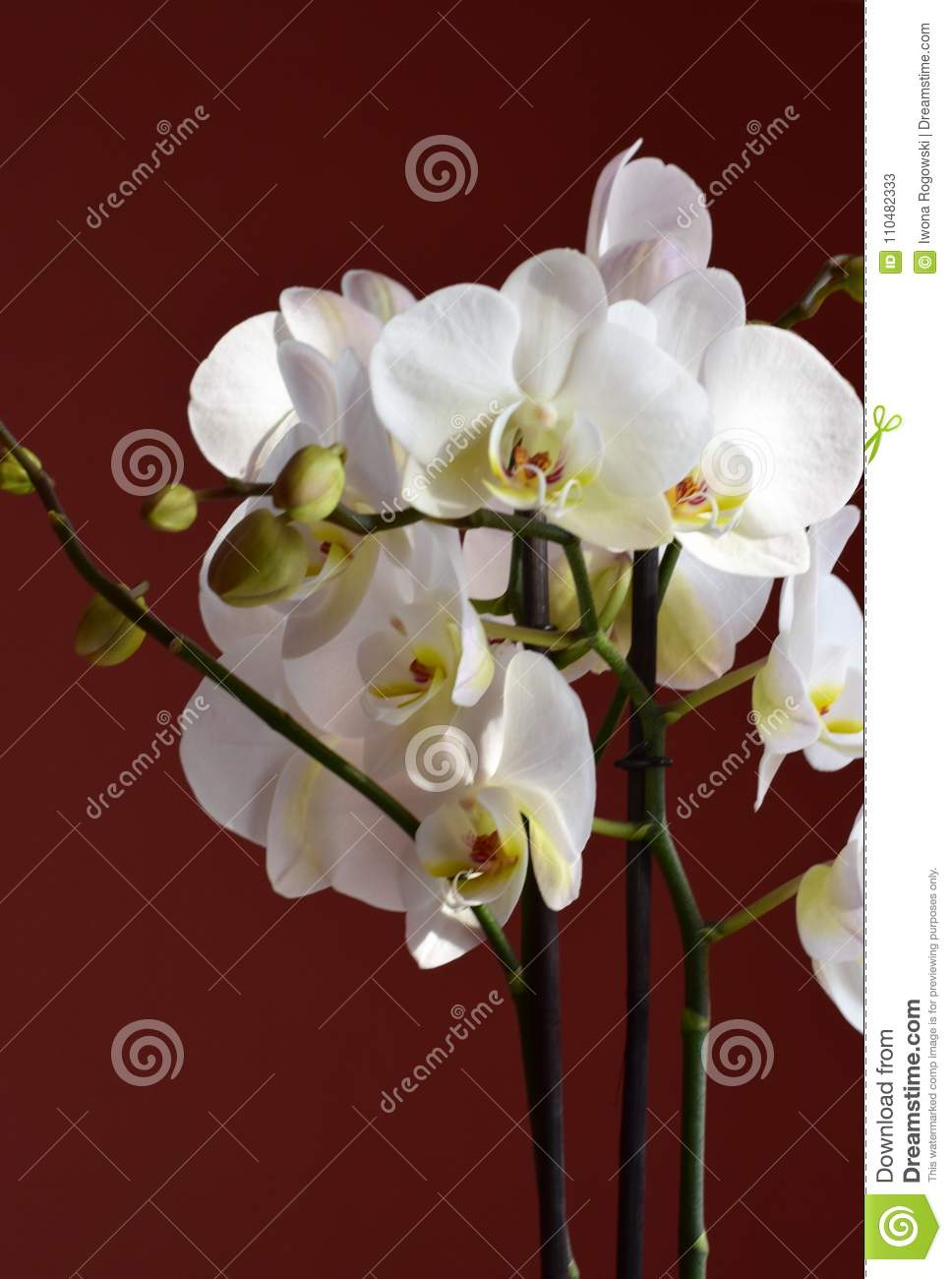 White orchid flower stock image image of color flowers 110482333 download white orchid flower stock image image of color flowers 110482333 mightylinksfo