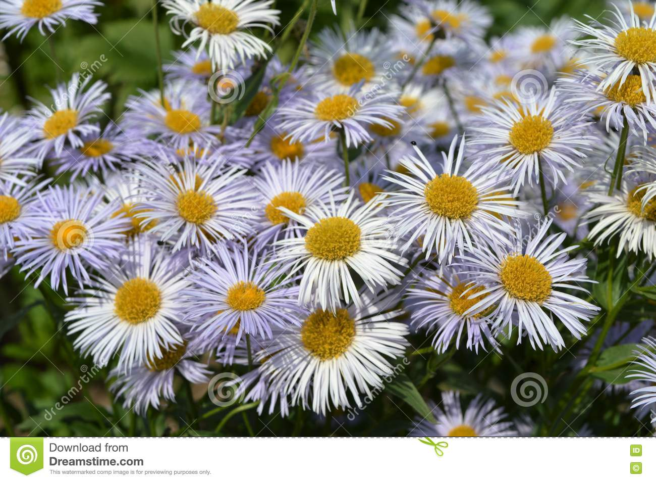 Flowers With White Petals And Yellow Core Stock Image Image Of