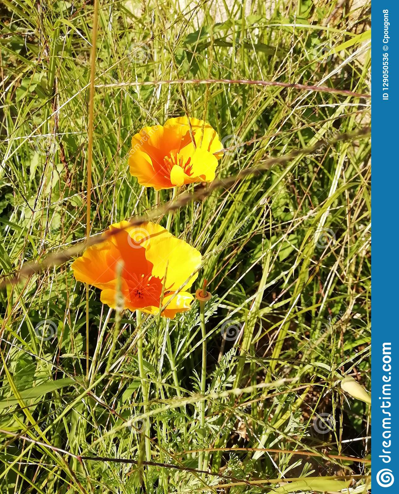 Flowers of yellow poppies