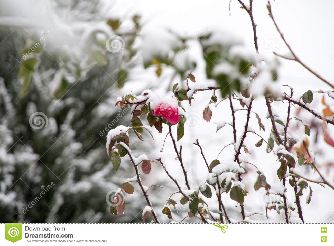 flowers in the winter garden stock photo image 81602679