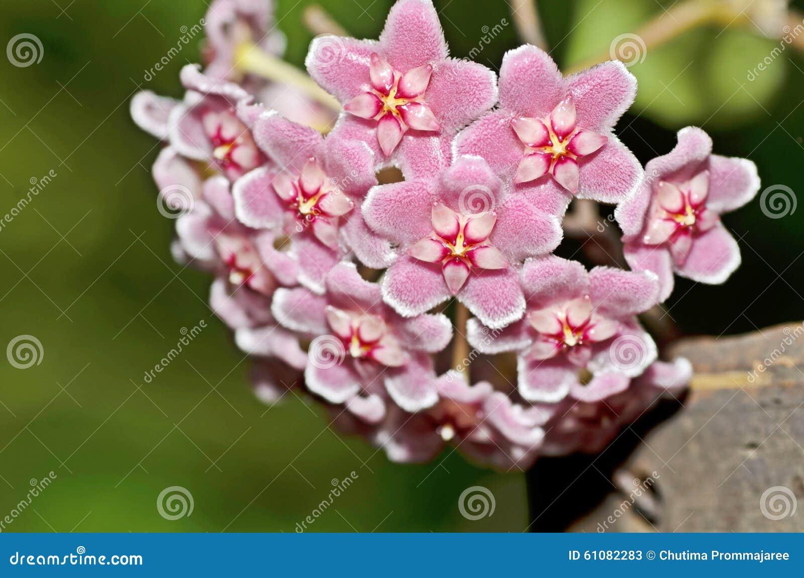 A flowery wax plant or Hoya