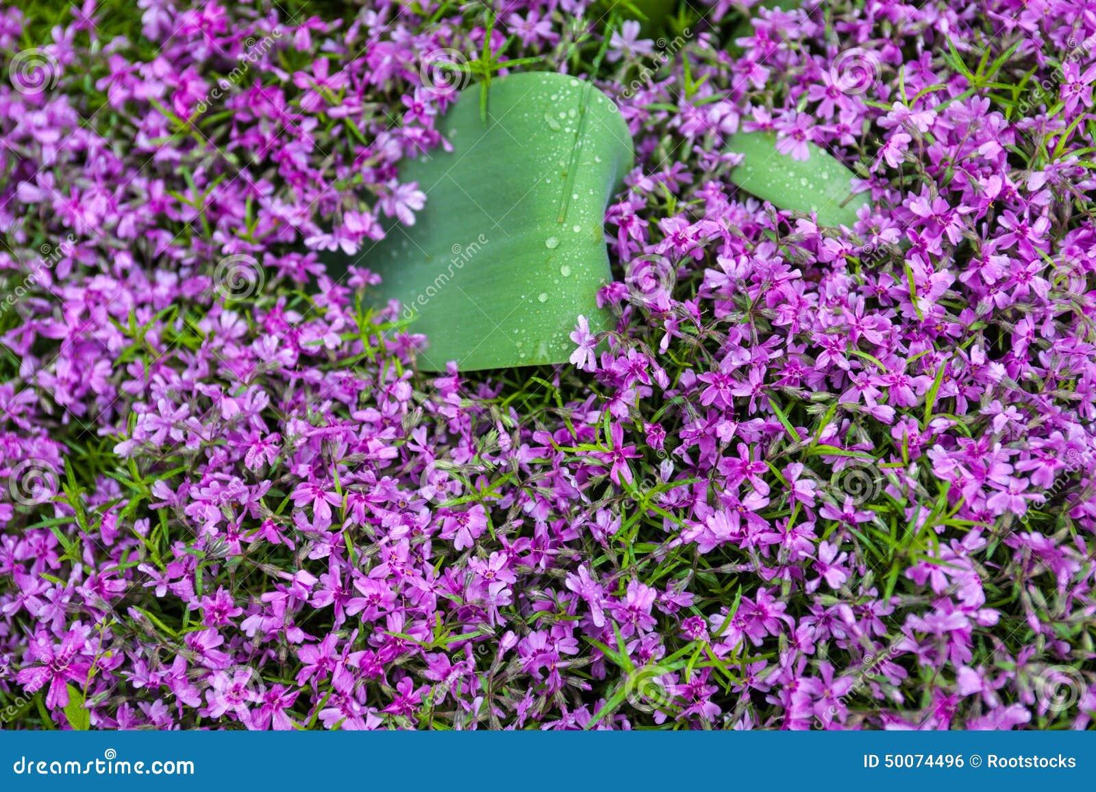 Flox cor-de-rosa de florescência (subulata do flox)