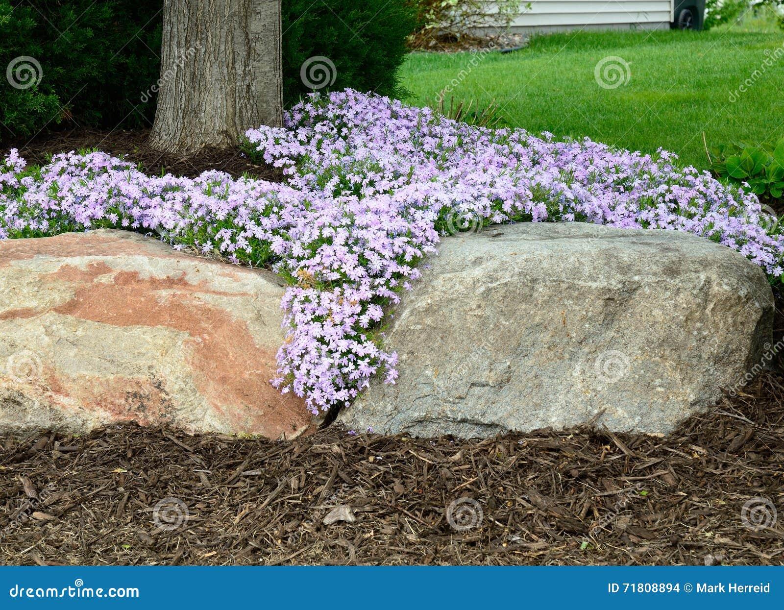 Flox di strisciamento (subulata del flox) abbellire e muro di sostegno della roccia