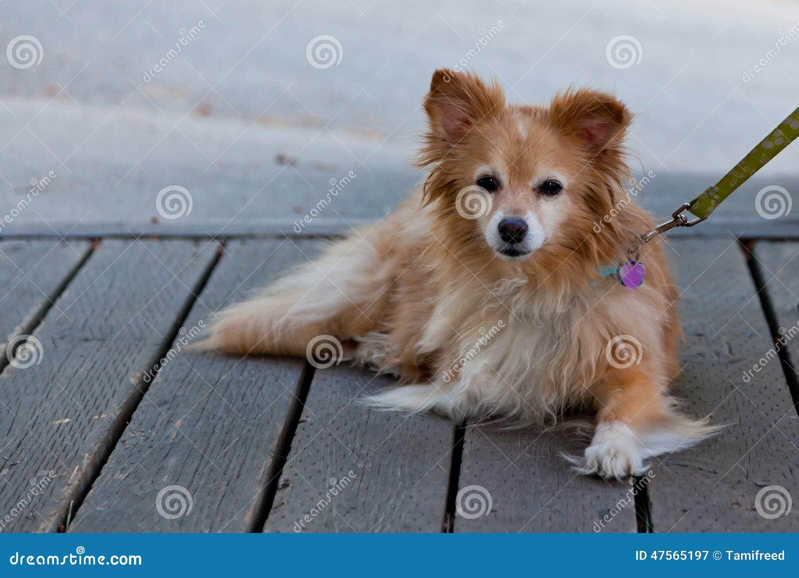 liten hund