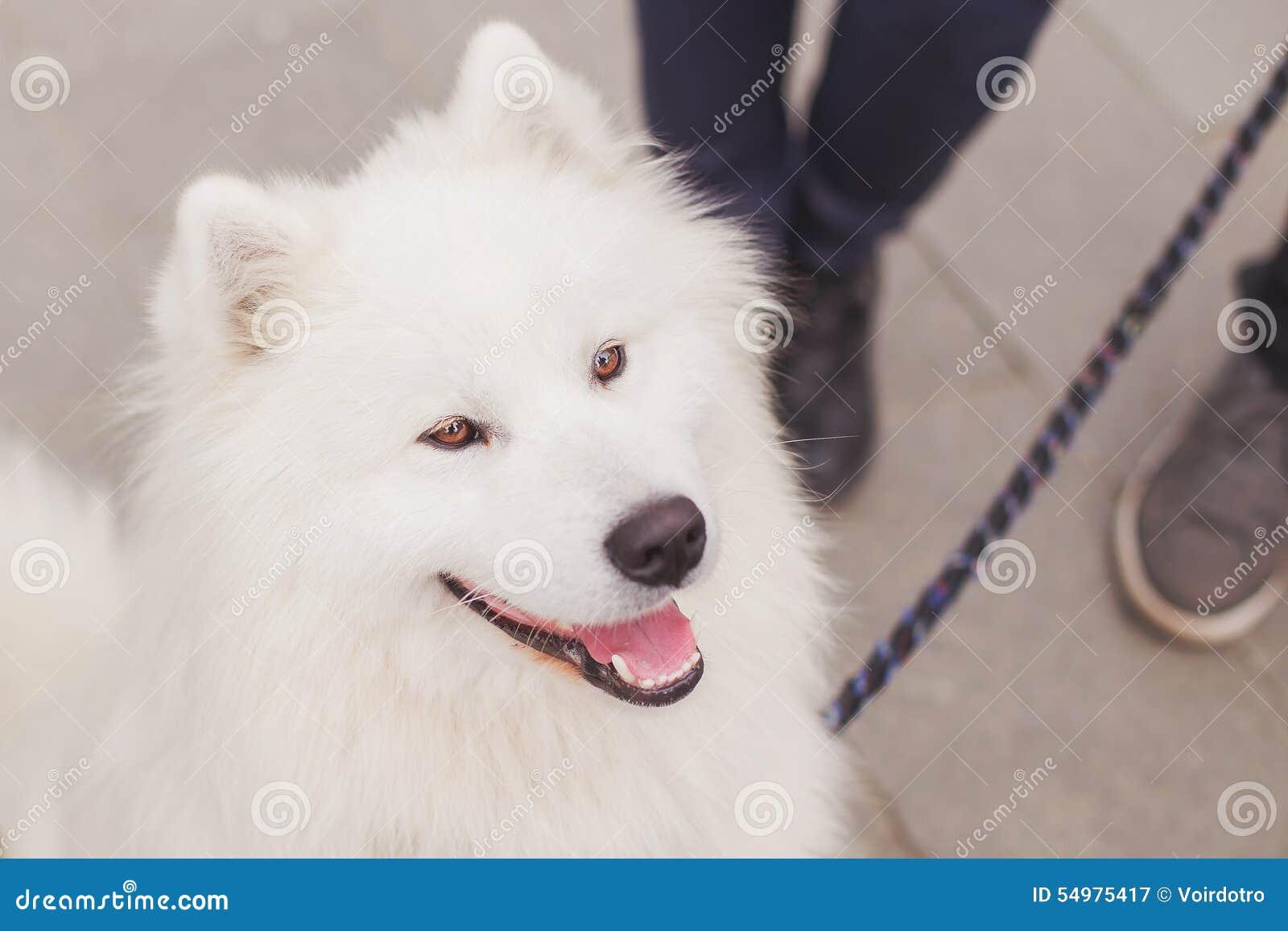 Fluffig vit Samoyedhund med lösning