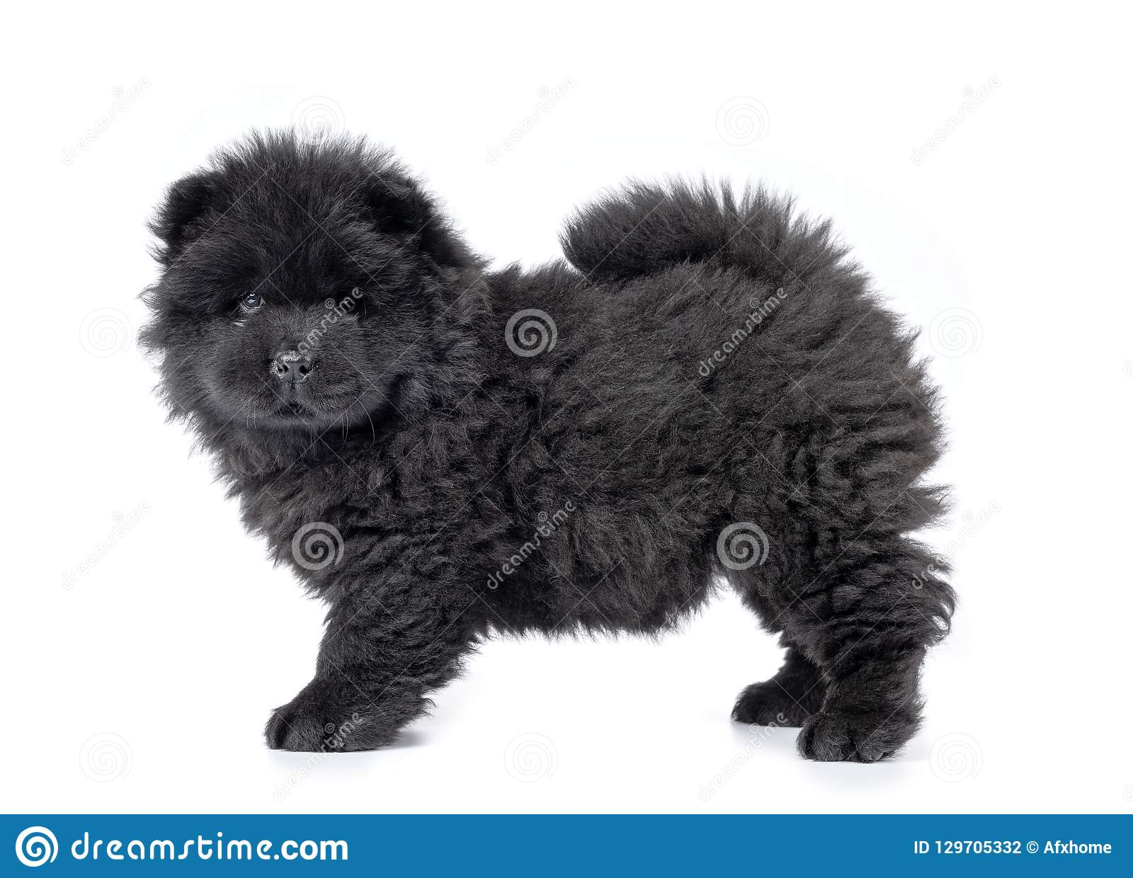 Fluffy Black Chow Chow Puppy Isolated On White Background Stock