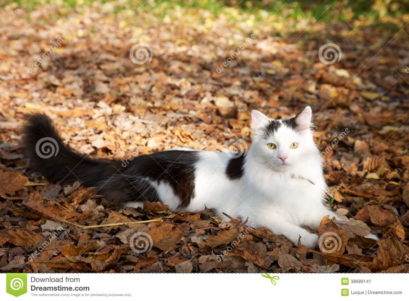Fluffy Black And White Cat On Leaves Stock Image - Image ...