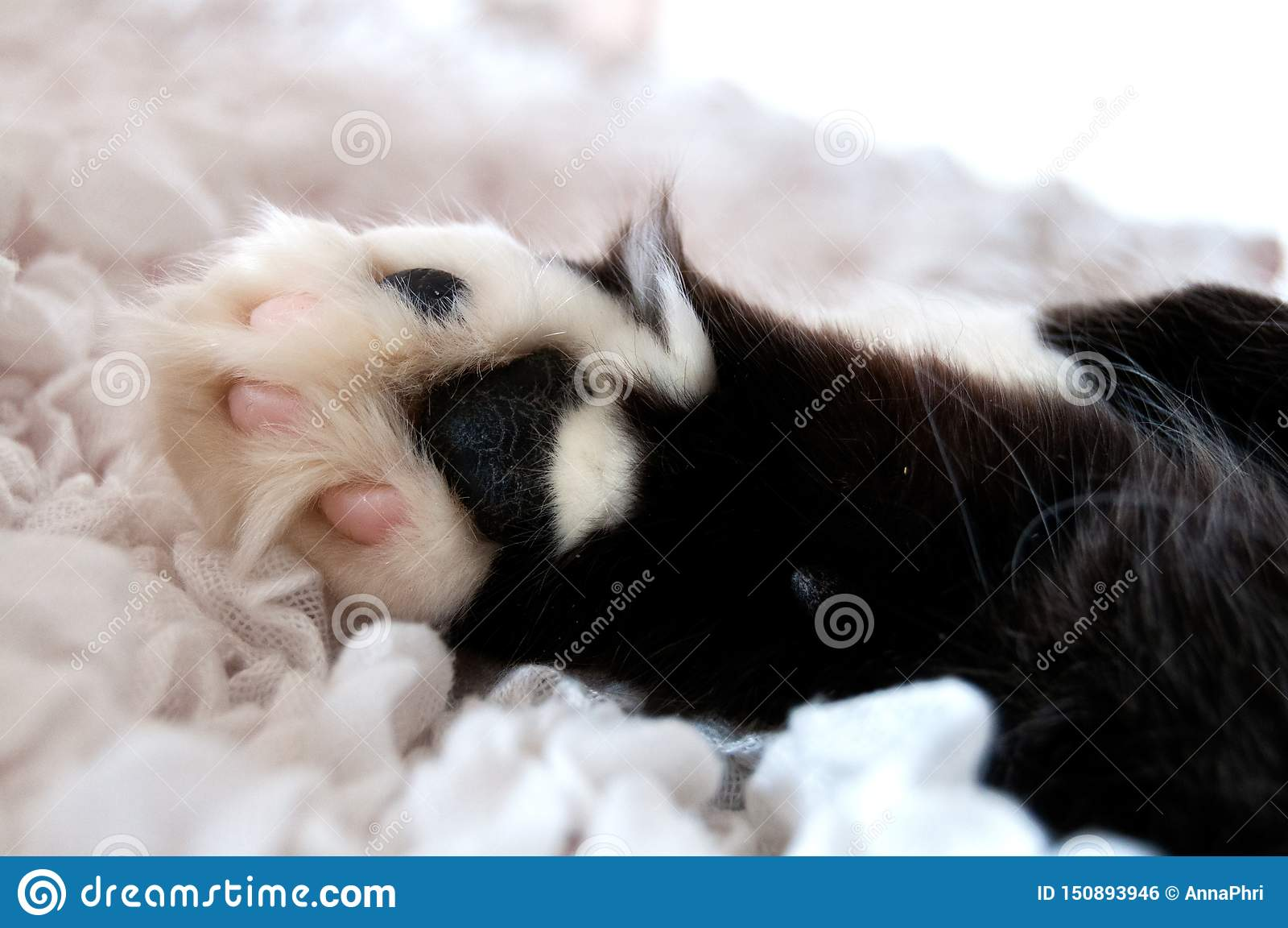 Fluffy black and white cat`s paw on a white cloth