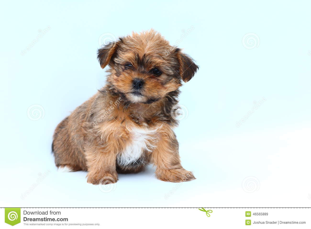 Best Puppy Brown Adorable Dog - fluffy-brown-white-puppy-white-background-adorable-mixed-breed-sits-46565889  Picture_522035  .jpg