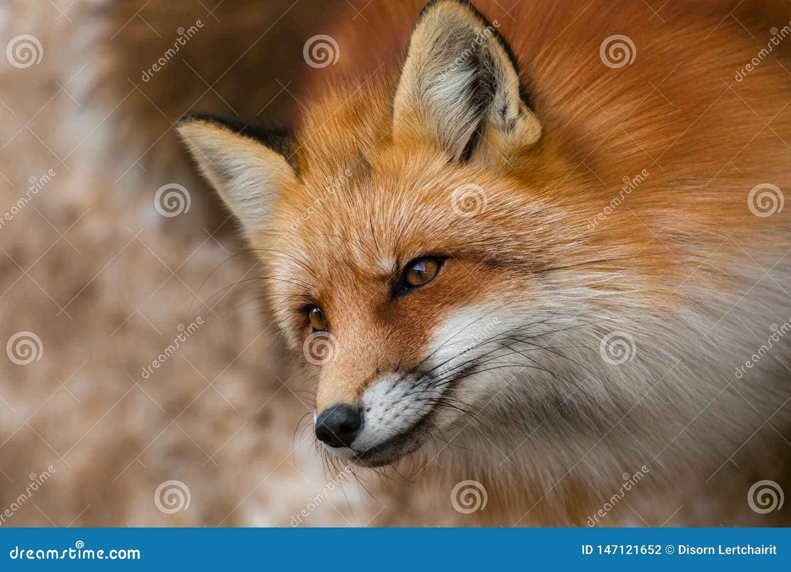Fluffy cute red fox portrait in winter , zao , miyagi , Tohoku Area, Japan.