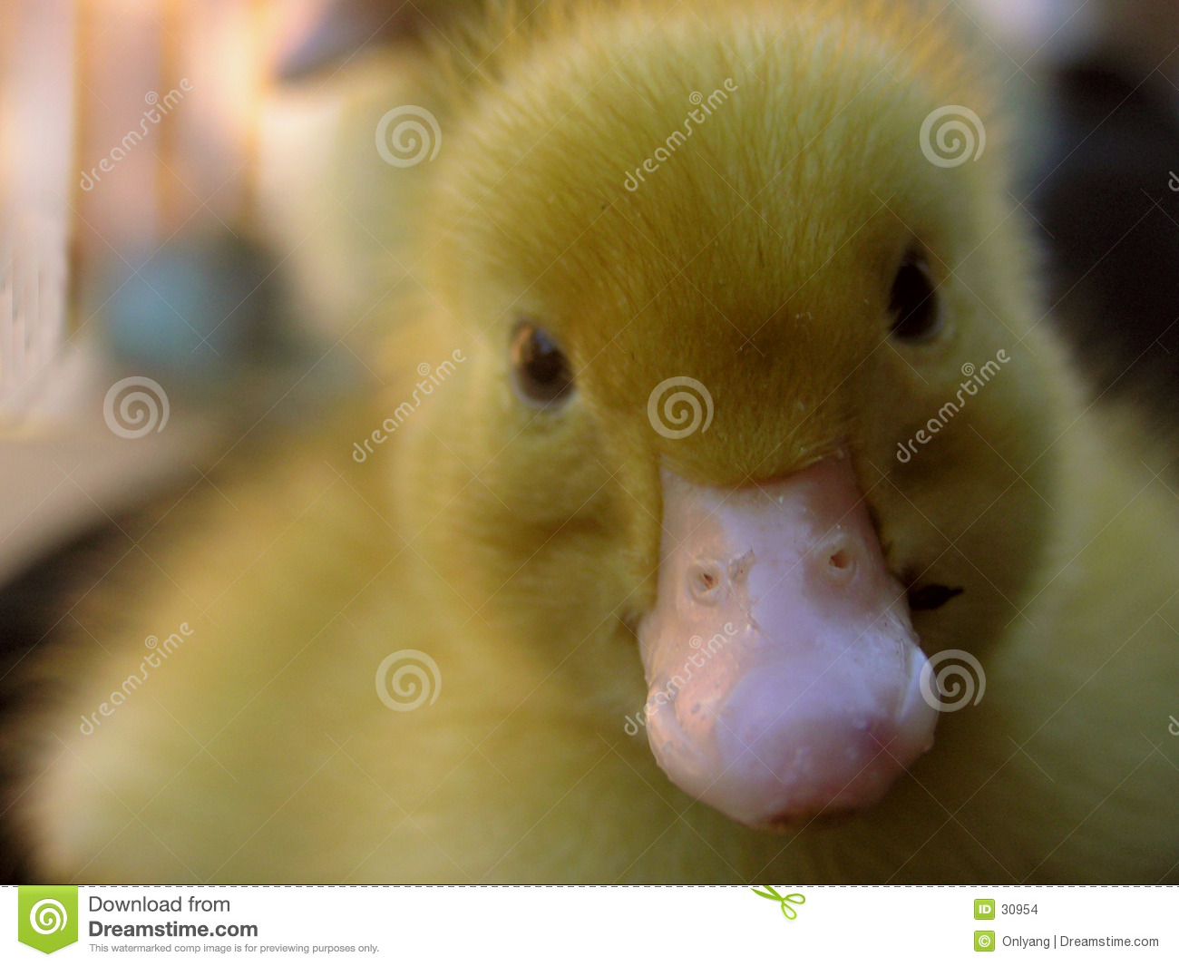 Fluffy Duckling Close Up