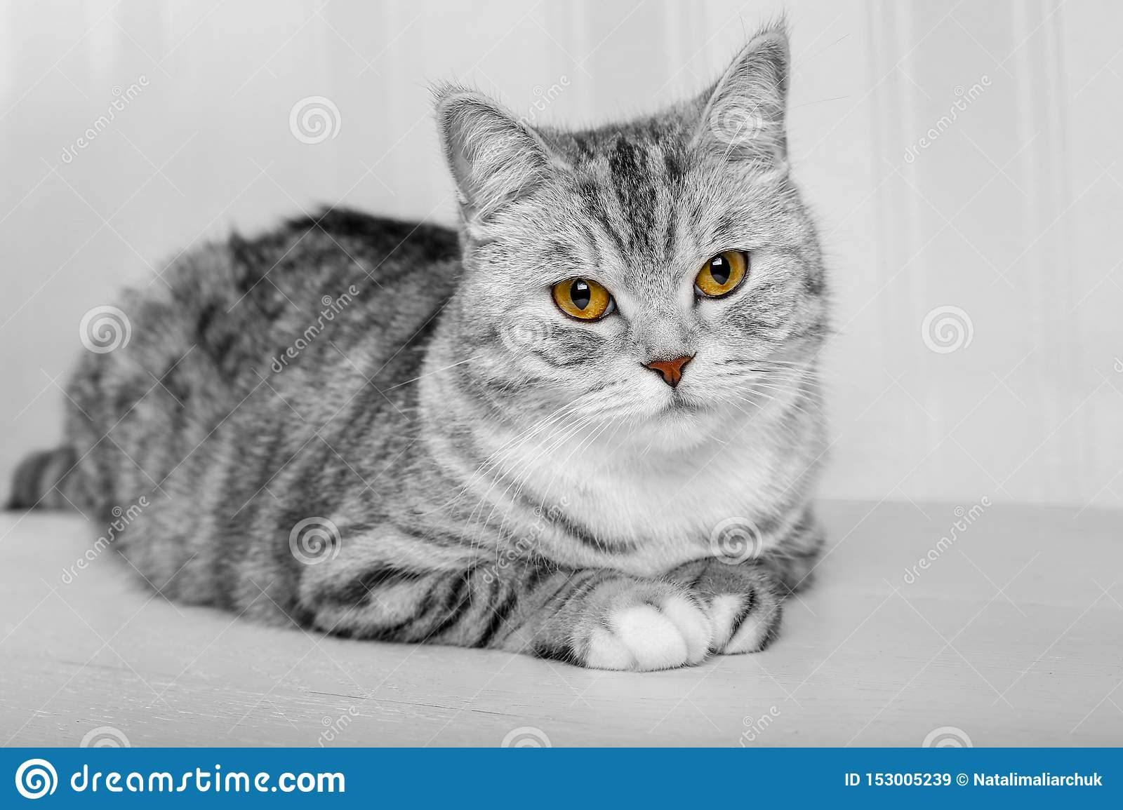 Fluffy gray beautiful adult cat, breed scottish, close portrait on white background with beautiful eyes. Portrait of scottish grey