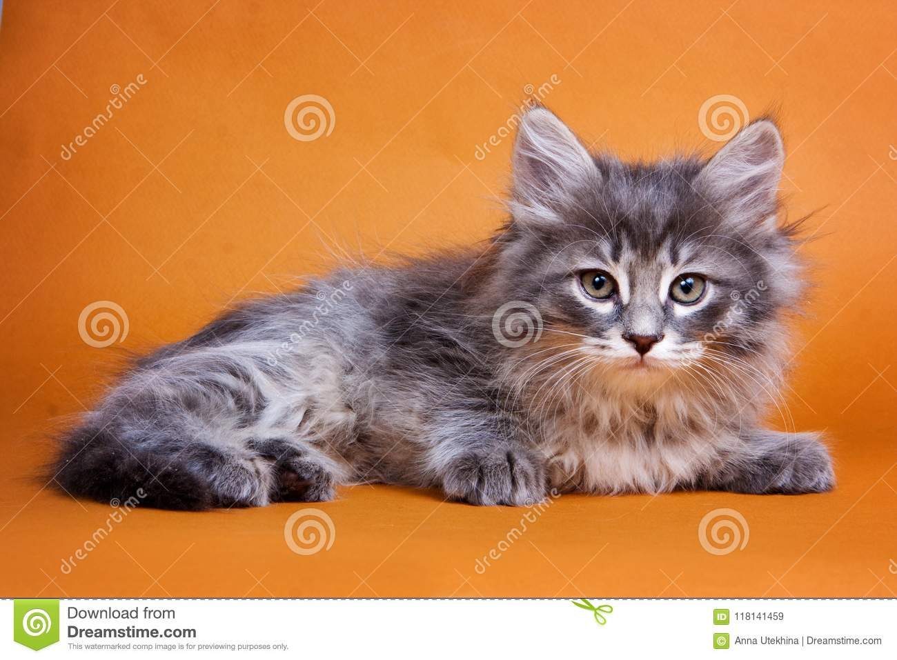 Fluffy gray Siberian kitten