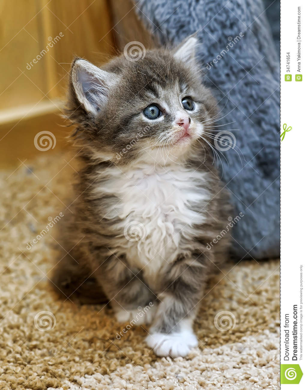 Fluffy Gray And White Kitten Stock Image