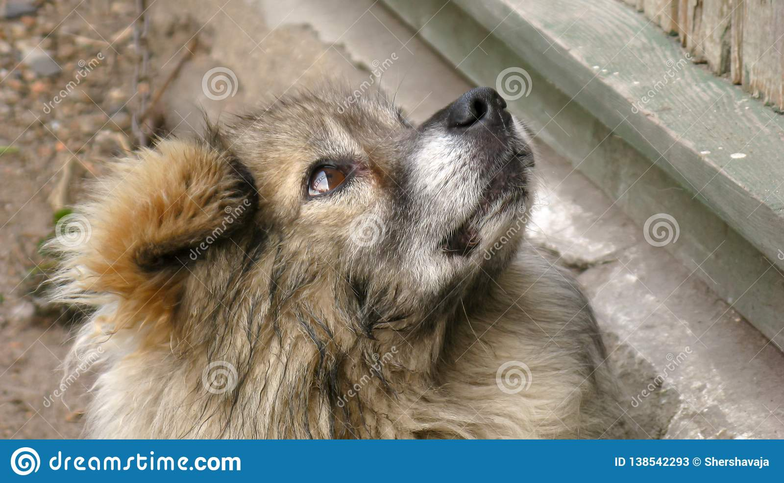 Fluffy, homeless, mongrel, dvorgyaga dog sits and looks up to the side