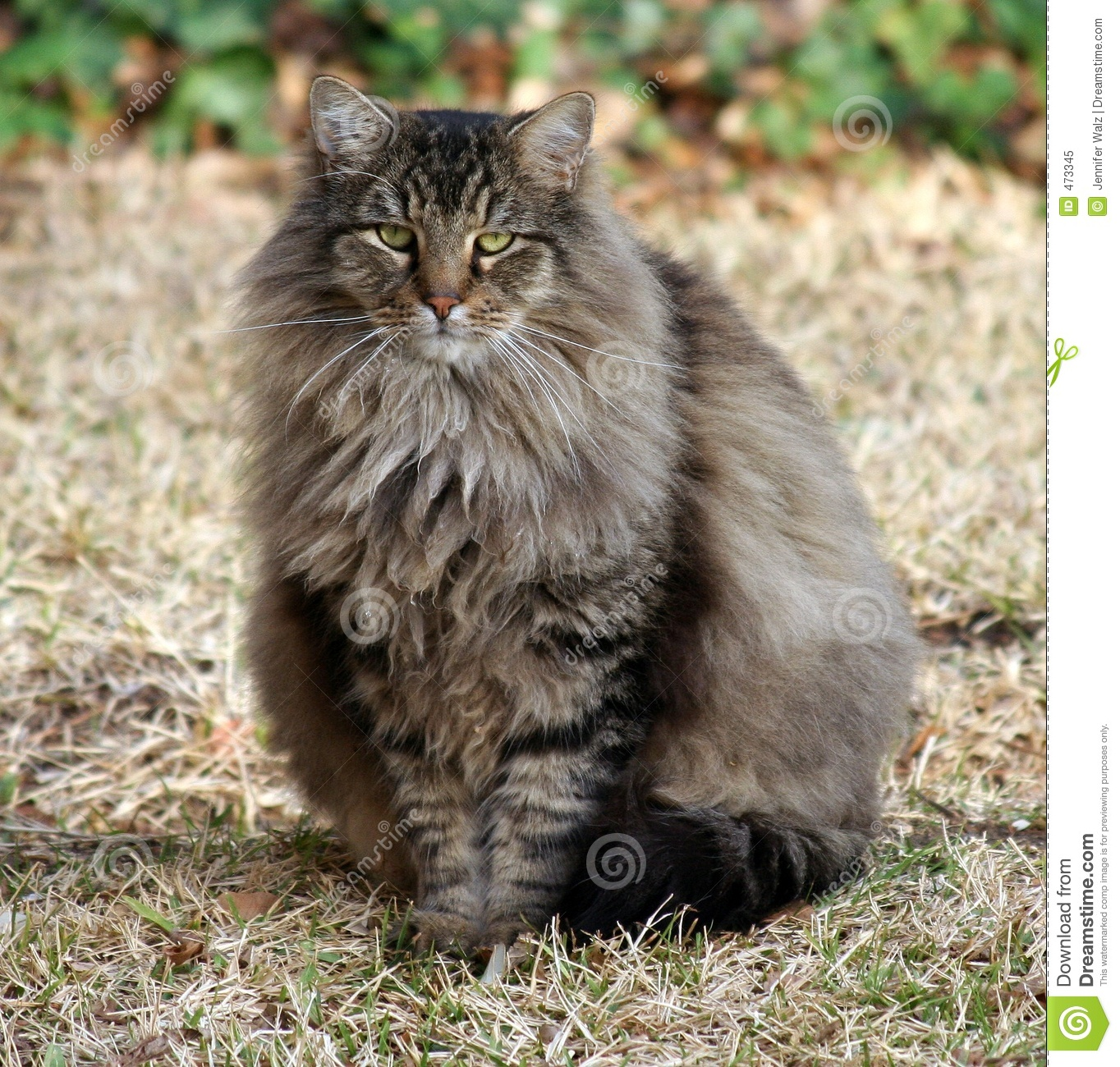 Download Fluffy Maine Coon Mix stock image. Image of walz, outdoor - 473345