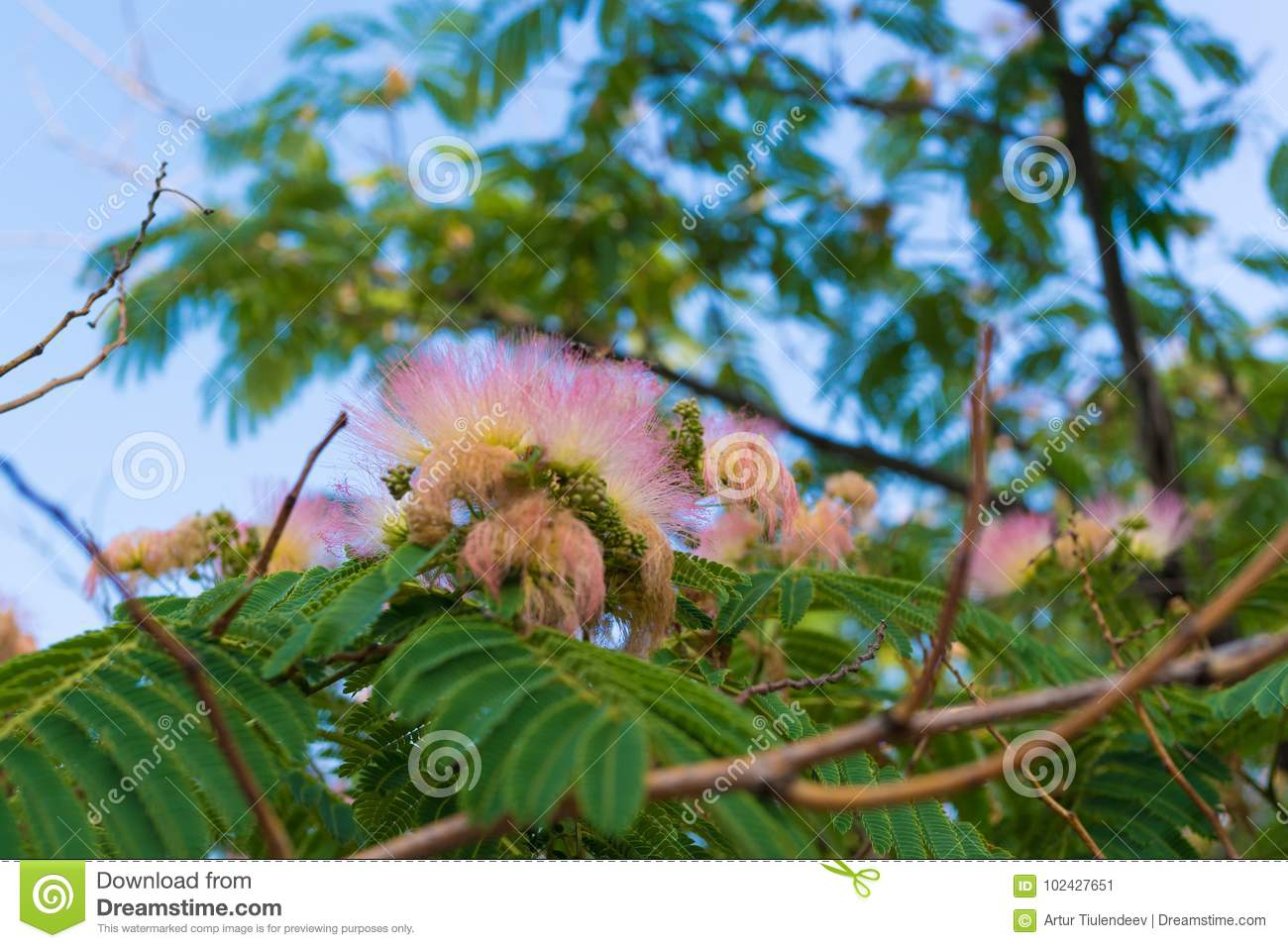 Fluffy Pink Flower On The Tree Stock Image Image Of Natural