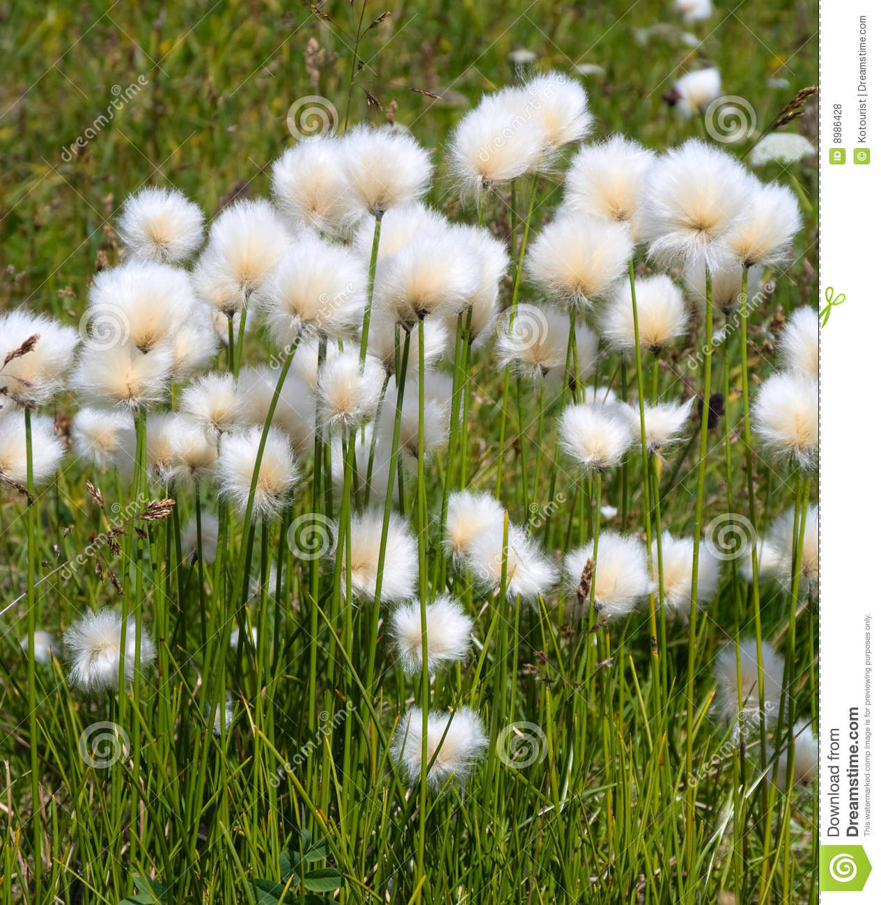 Fluffy Plant Royalty Free Stock Photos Image 8986428