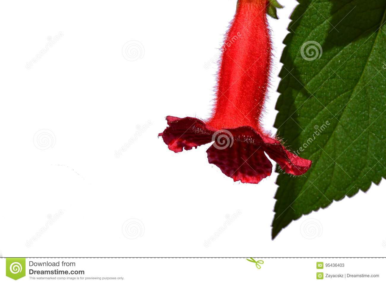 Fluffy Red Bell Shaped Indoor Red Flower And Jagged Lanceolate Leaf