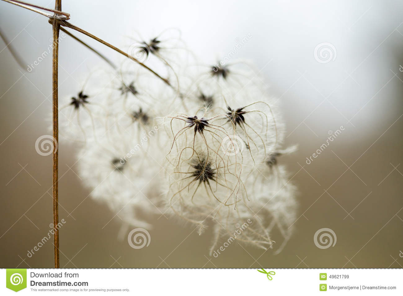 Pods Com Prices >> Fluffy Seeds Liane Pods Clematis Stock Image - Image of ...