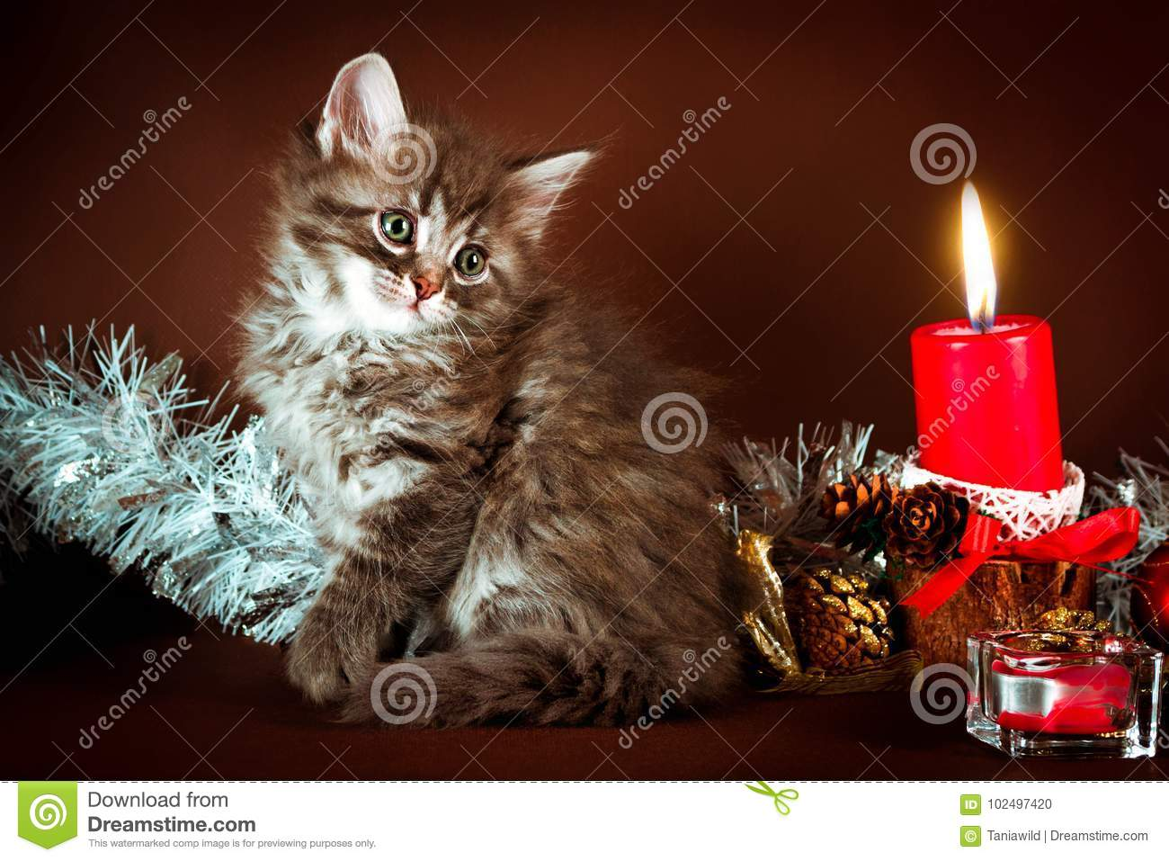 Fluffy Siberian Kitten With Christmas Decorations. Brown Background ...