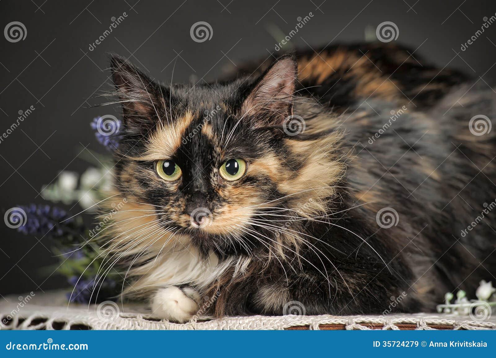 Fluffy tortoiseshell cat stock image  Image of healthy