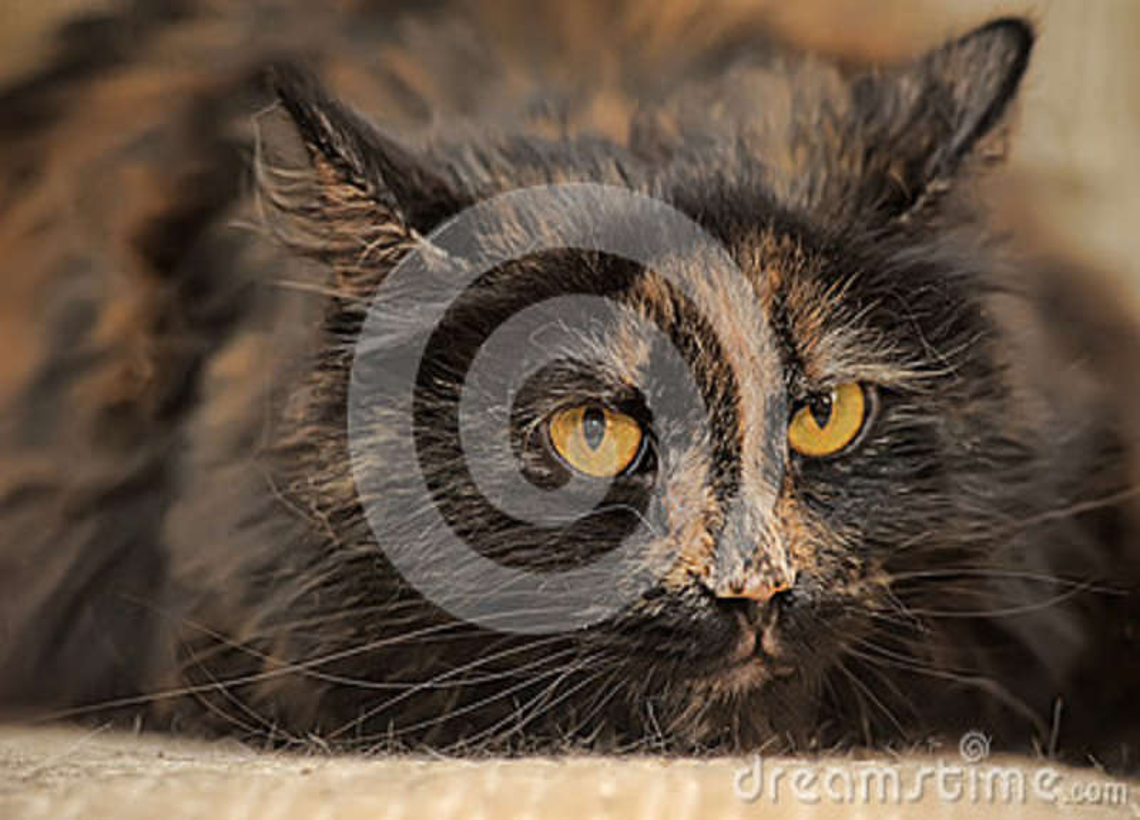 fluffy tortoiseshell cat stock photo image of closeup