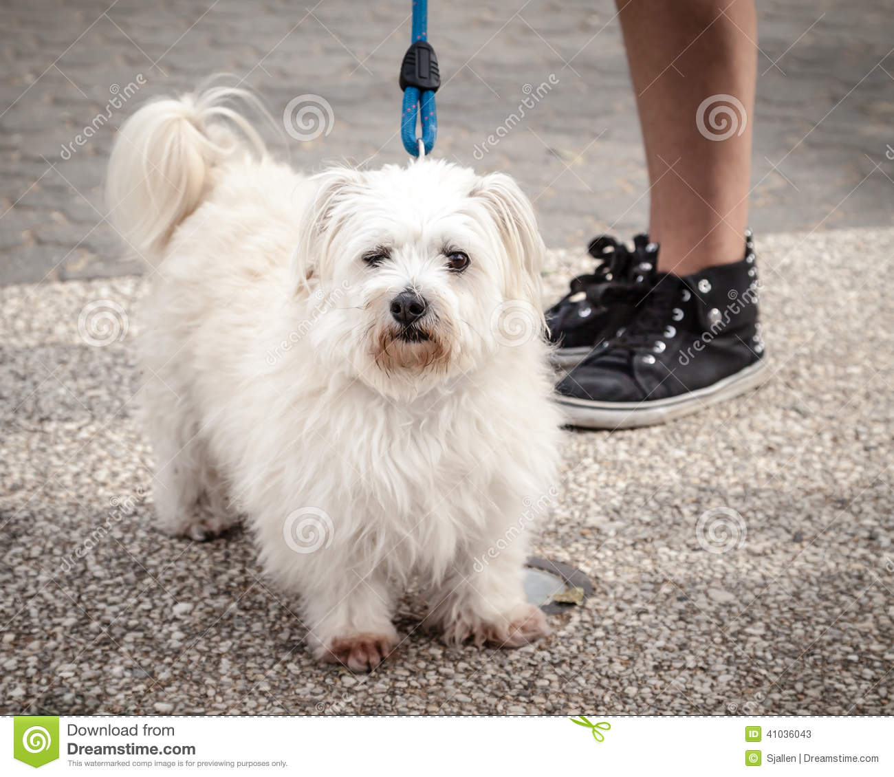 Found White Long Haired Terrier Cambodia Expats Online Forum