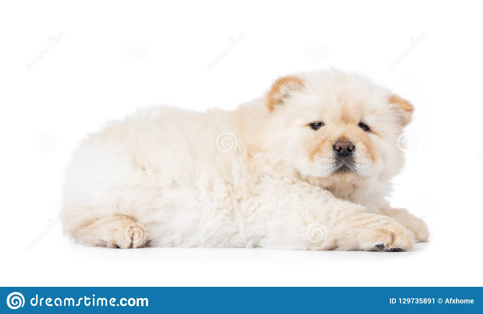 Fluffy White Chow Chow Puppy Isolated On White Background Stock