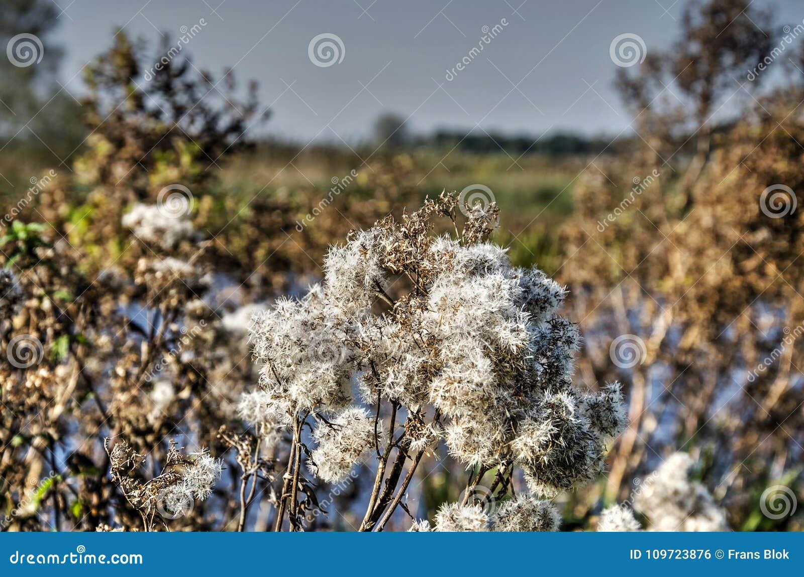Fluffy white flowers in autumn stock photo image of field people fluffy white flowers in autumn mightylinksfo