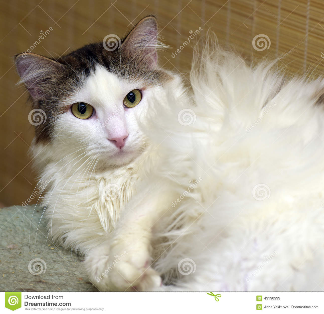 Fluffy White And Grey Cat Fluffy white an...