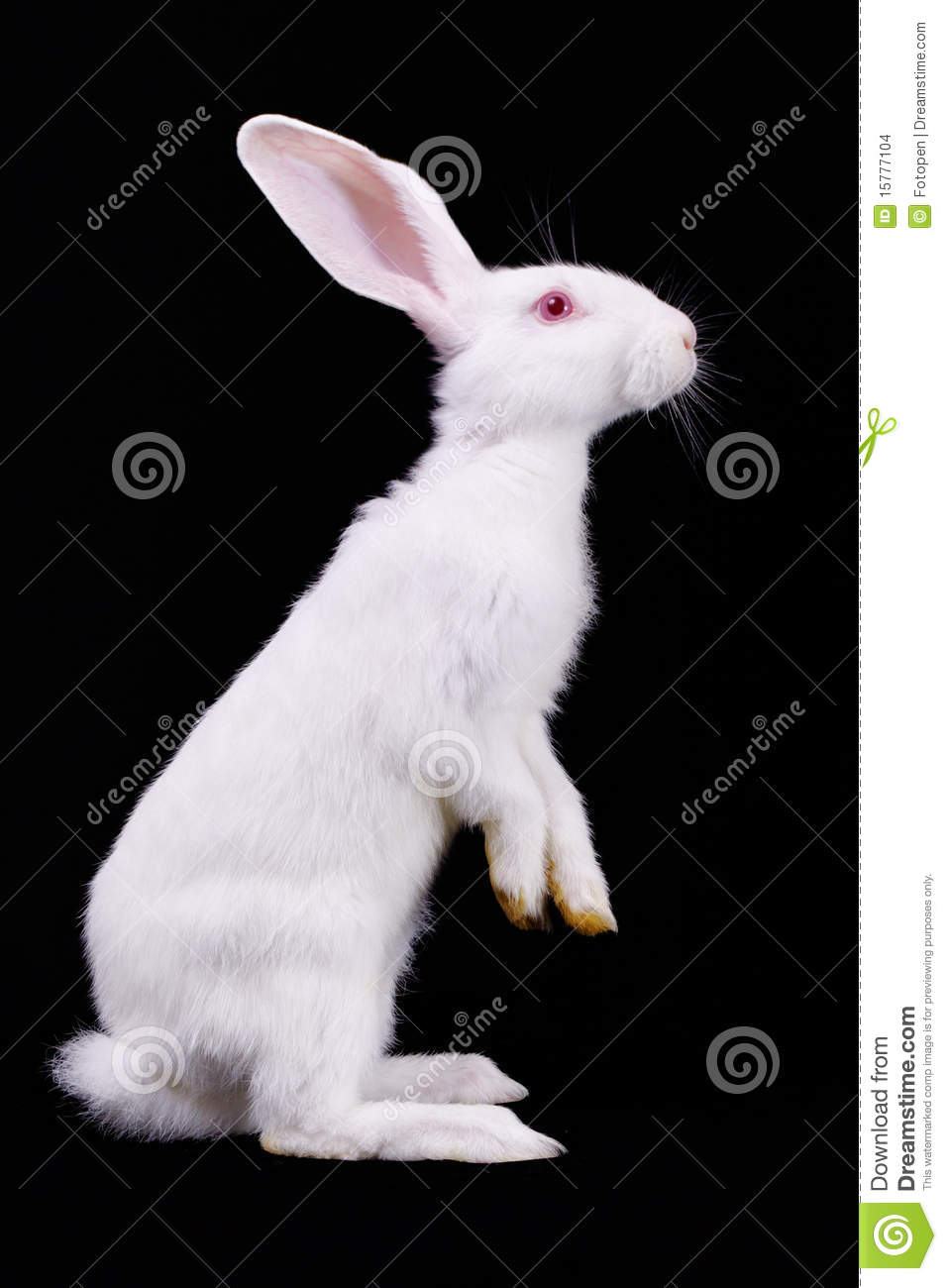 White rabbit standing on its hind legs. Side view. Black background.