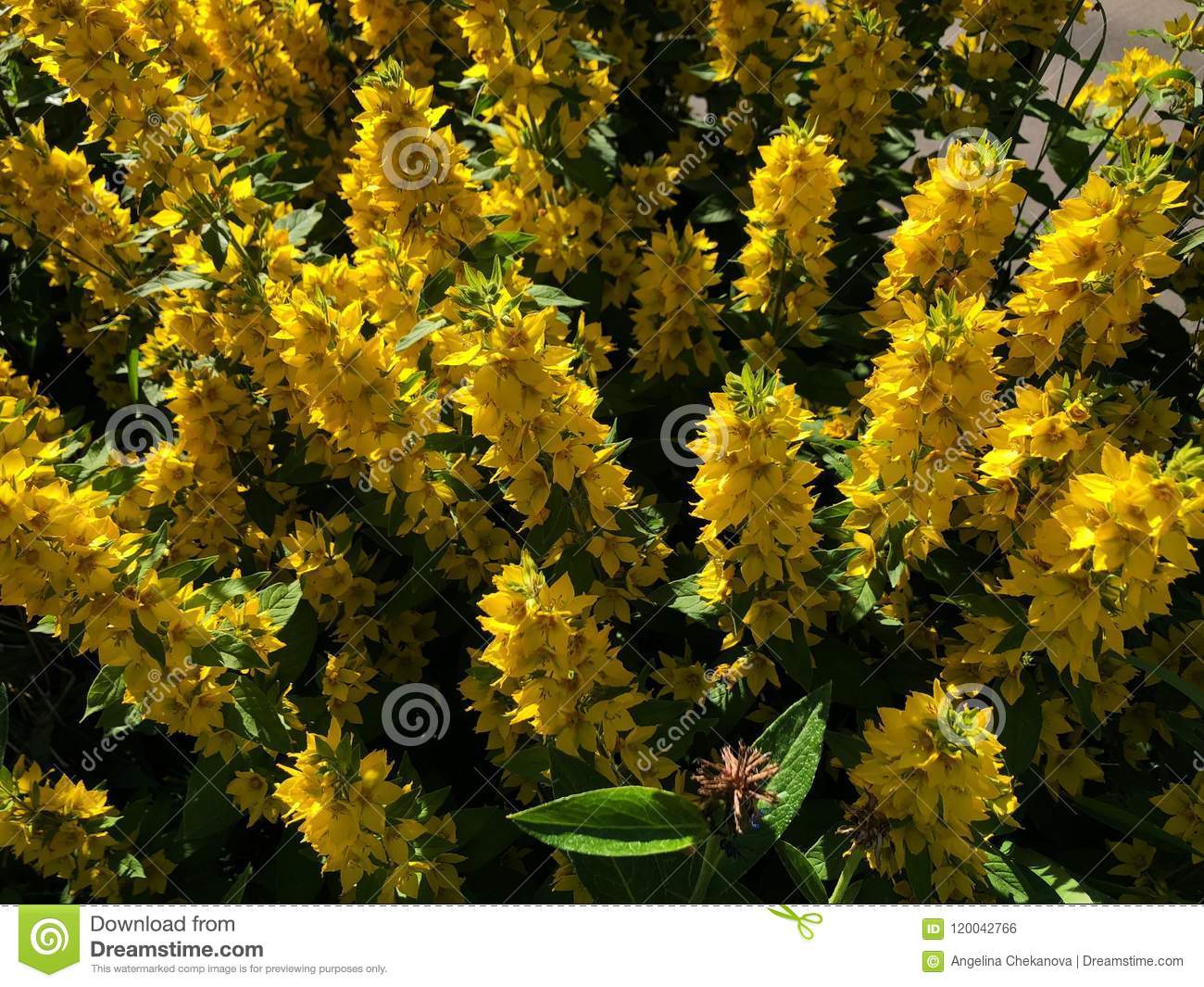 Fluffy yellow flower bushes of bells in the garden stock photo fluffy yellow flower bushes of bells in the garden mightylinksfo