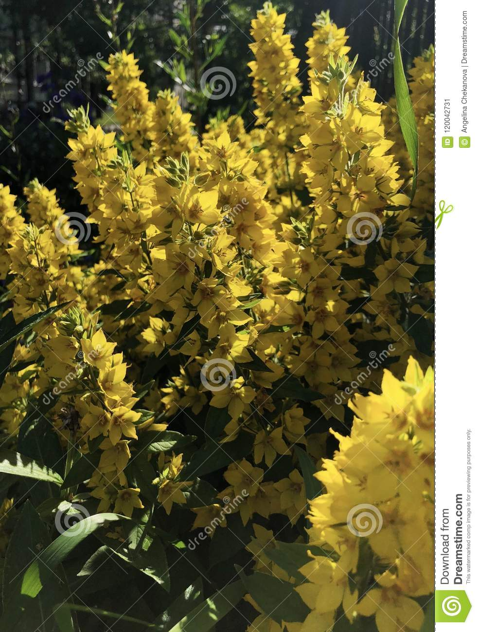 Fluffy yellow flower bushes of bells in the garden stock image fluffy yellow flower bushes of bells in the garden mightylinksfo