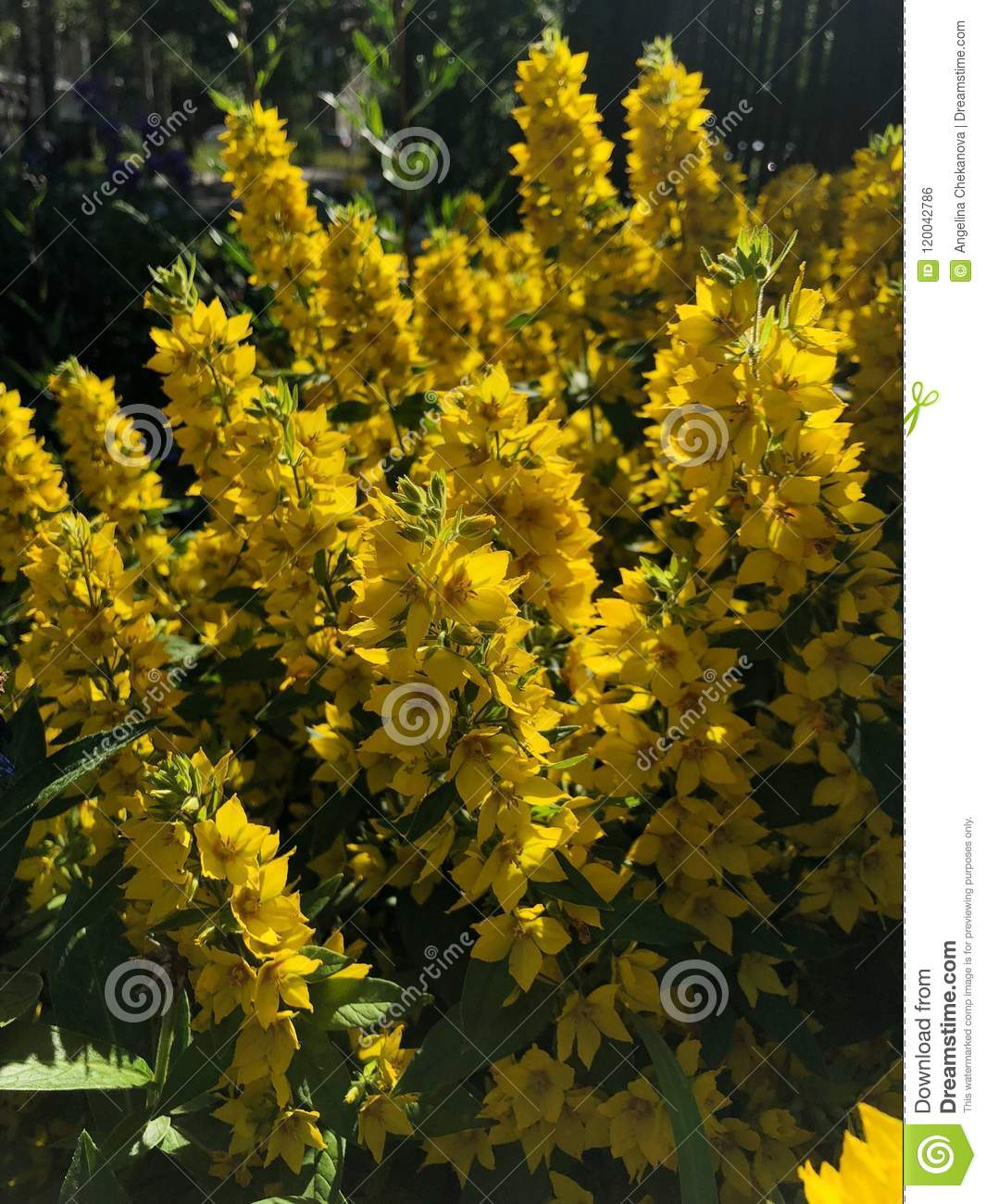 Fluffy Yellow Flower Bushes Of Bells In The Garden Stock Photo
