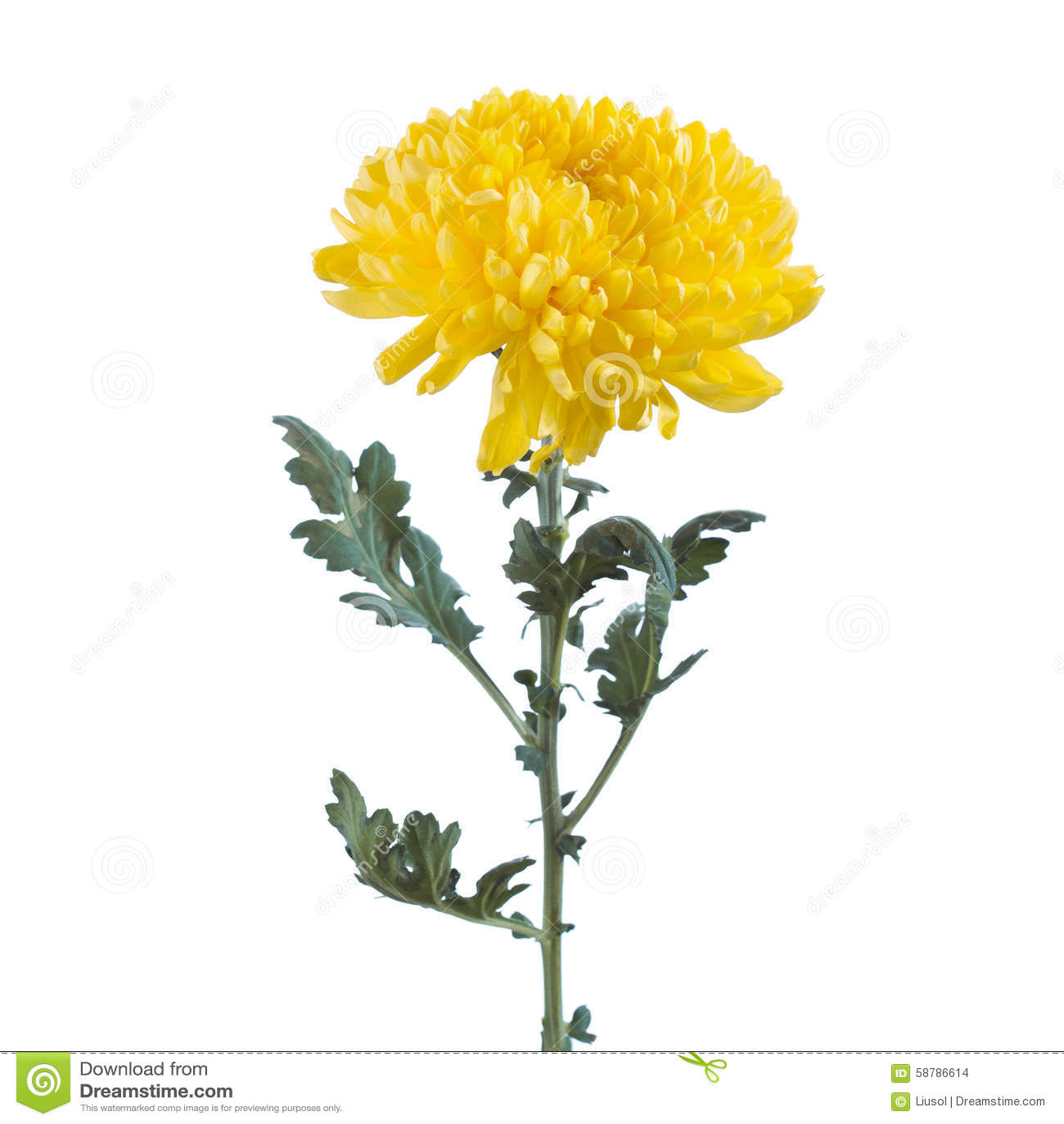 Yellow Chrysanthemum Flower Drawing